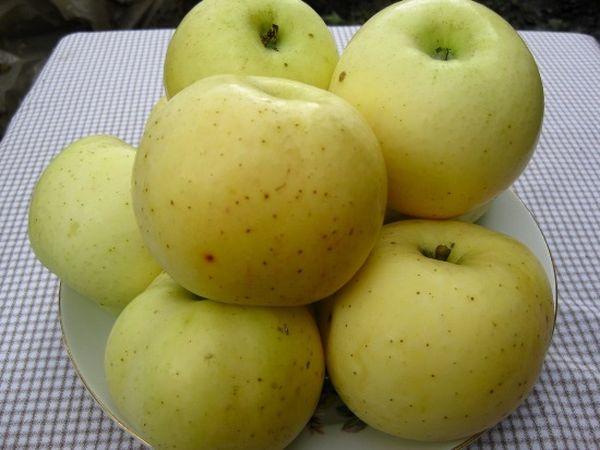 Плоды можно собирать если кожица желтого цвета