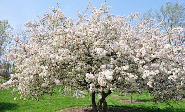 Яблоня Антоновка устойчива к заболеваниям