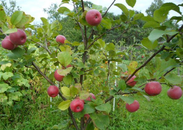 Созревают плоды этого сорта в сентябре