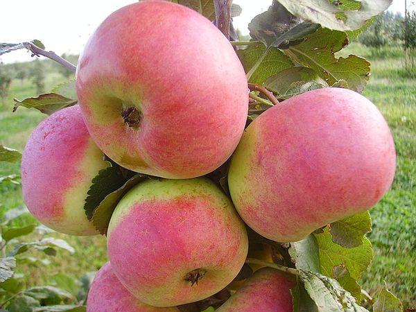 В первый год выращивания не нужно вносить подкормок