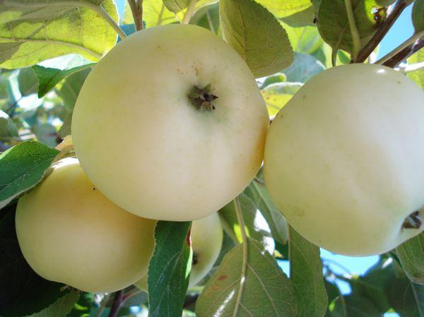 Созревание плодов происходит уже в середине июля