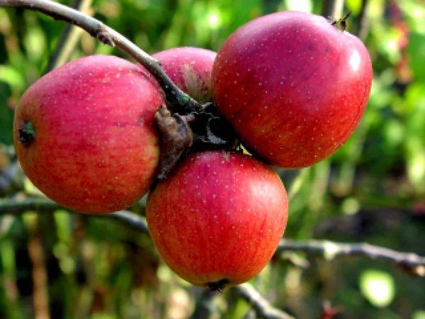 Вкус у яблок зависит от условий и региона произрастания