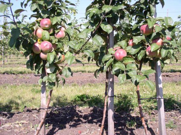 Братчуд – карликовый сорт яблони
