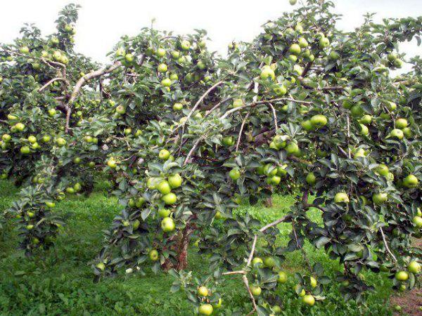 Яблоня Чудное представляет собой природного карлика