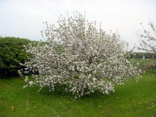 Удобрения вносятся в период цветения и при наливе яблок