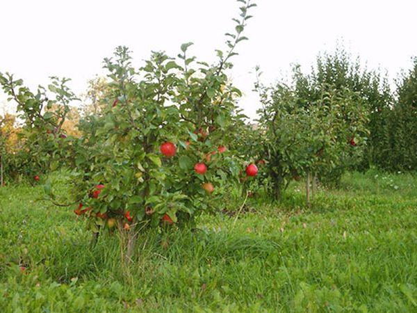 У яблони Чудное отменный вкус яблок