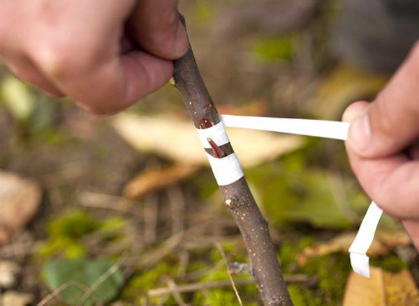 Способ прививки дикой яблони