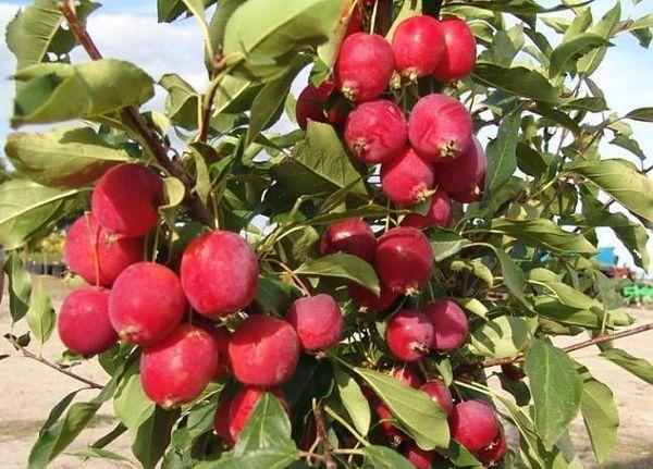 Яблоня Долго – старинный сорт
