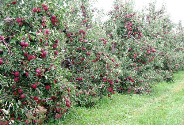 Средняя масса яблочек составляет 15–20 г
