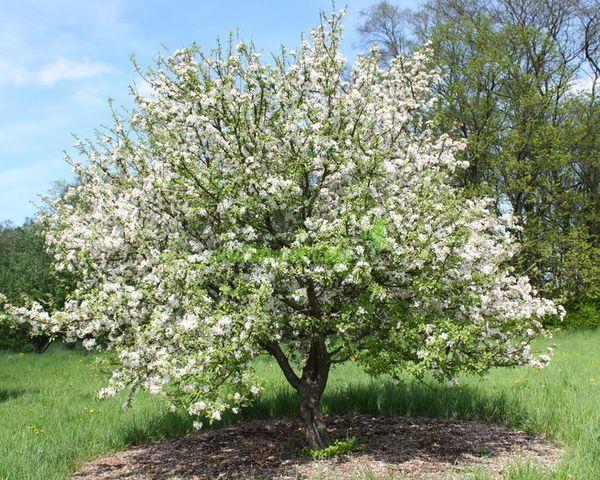 Яблоня Долго неприхотлива в выращивании