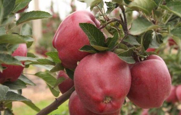 Плоды весят и около 200 грамм