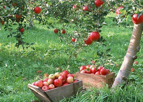 Яблоня склонна к сильному и продолжительному росту
