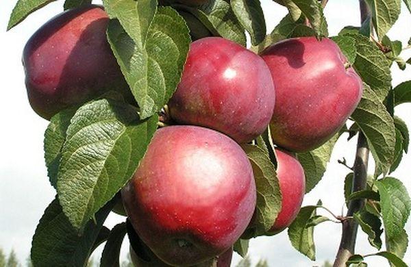 Имант - яблоня позднезимнего сорта