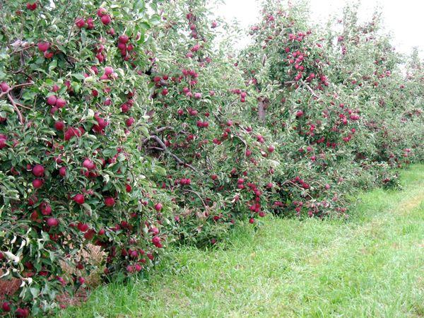 Карликовые яблони плохо переносят засуху