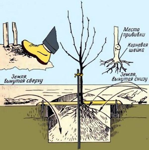 Процедура посадки карликовой яблони