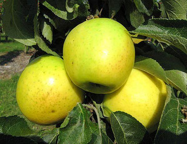 Яблоня Малюха имеет хороший иммунитет к болезням