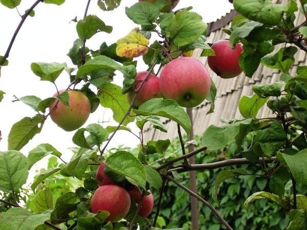 Хранить собранный в сентябре урожай можно с октября по май