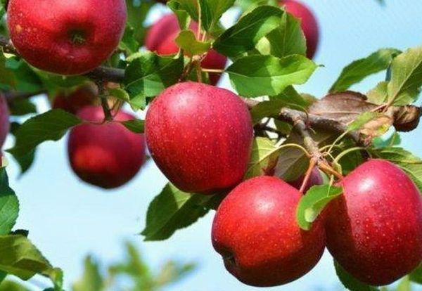 Плоды сорта не отличаются крупными размерами 75–90 г