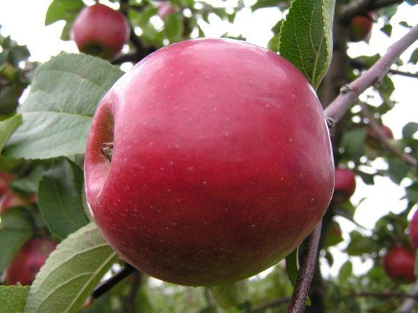 Яблоки сорта созревают неравномерно