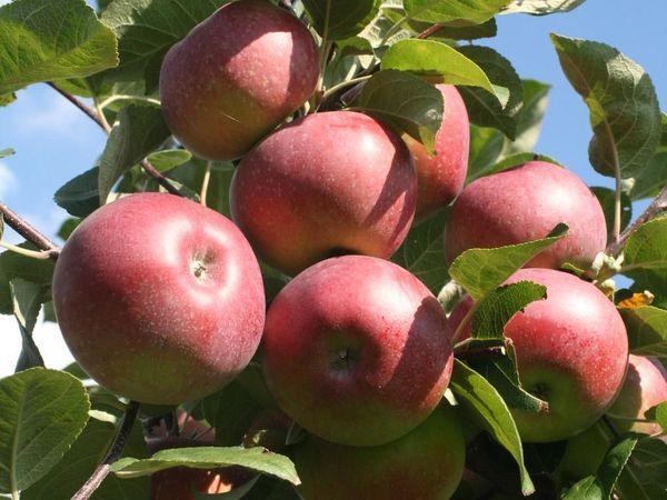 Яблоня Лобо имеет высокую урожайность