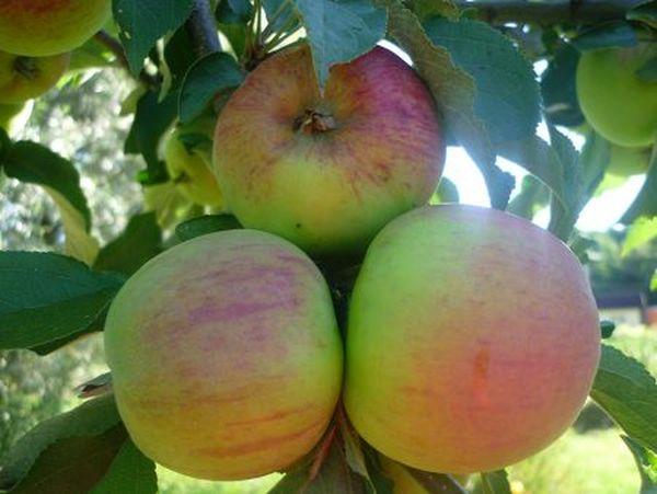 Созревание яблок сорта Малюха происходит в сентябре