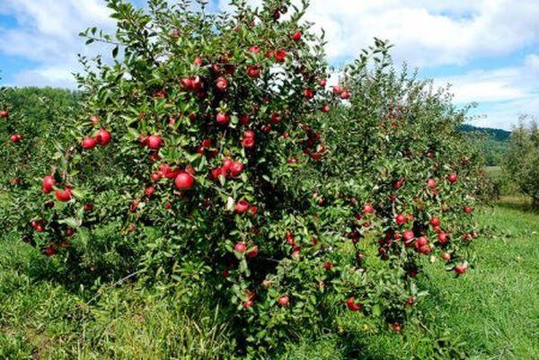 Сорт летней яблони Мечтавырастает до 5 метров