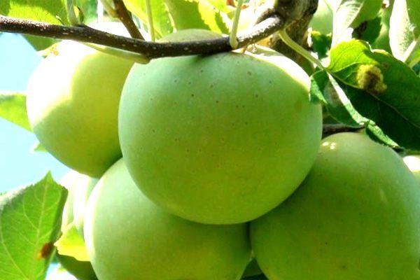 Плоды Мутсу довольно большие