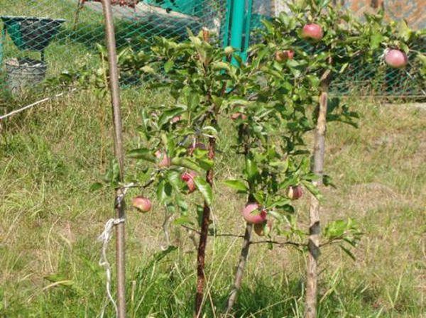 С пересадкой яблонь сталкивается большинство садоводов