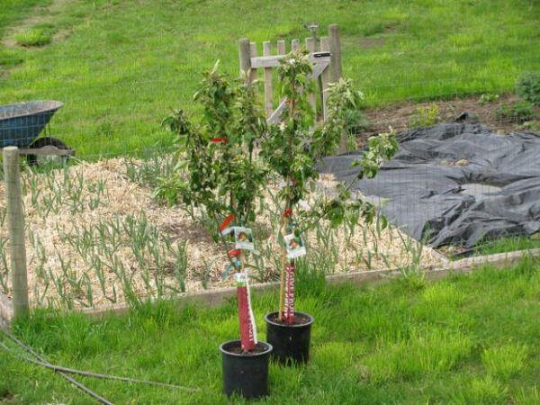 Однолетние саженцы яблони для посадки