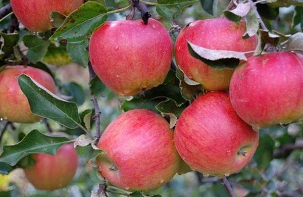 Яблоня дает урожай каждый год