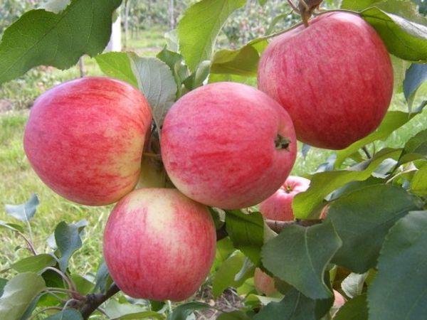 Лучше всего выбирать скороплодные виды яблонь