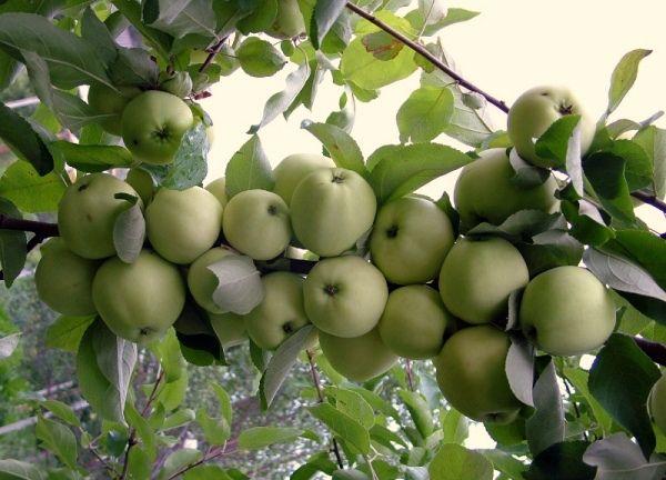 Яблони сажают в Подмосковье в конце апреля - начале мая