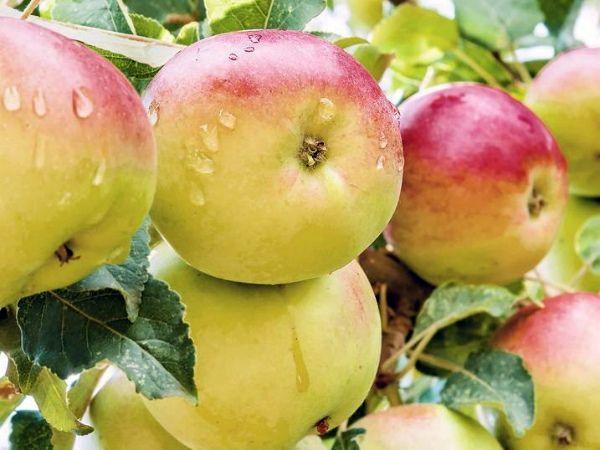 Для Подмосковья чаще выбирают летние сорта яблонь