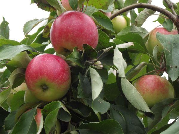 Популярный сорт яблони Мельба