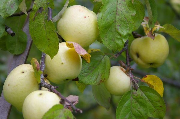 Популярный сорт яблони Антоновка