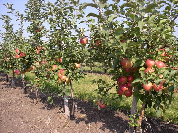 Полукарликовые яблони - это деревья средней высоты