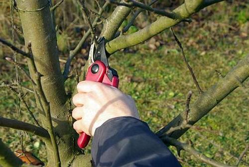 Обрезка полукарликовых яблонь проводится регулярно