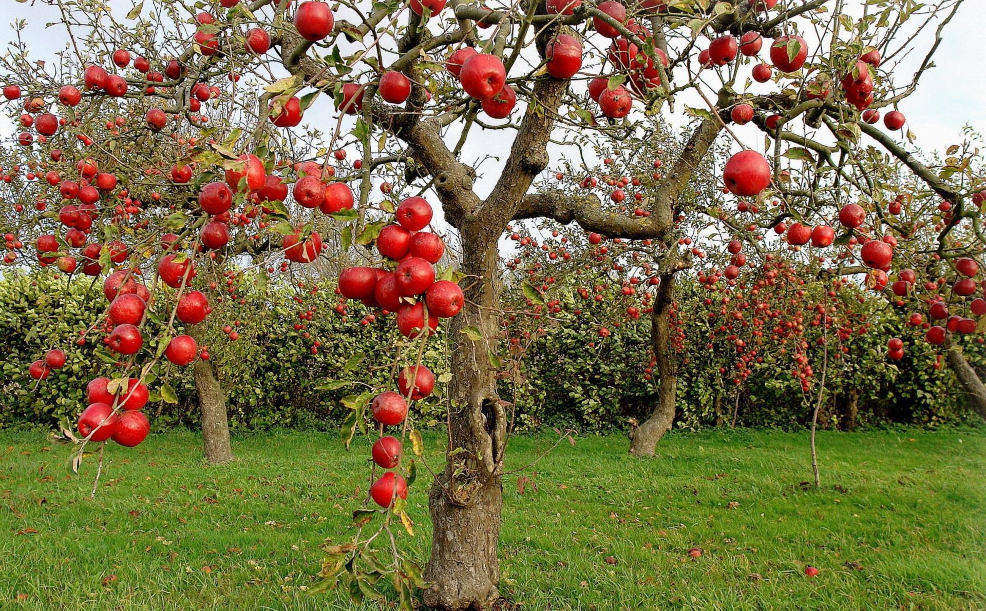 У данного вида отличные вкусовые качества плодов