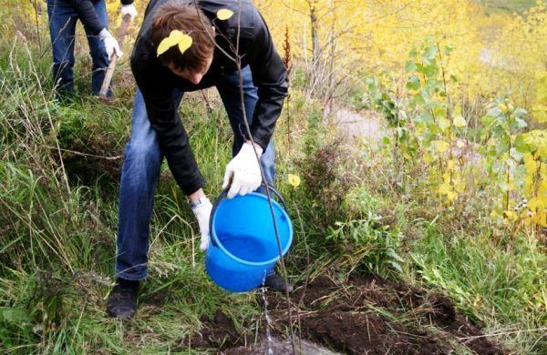 После посадки дерево нужно полить большим количеством воды