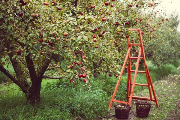 Яблони - одни из самых высоких деревьев в саду