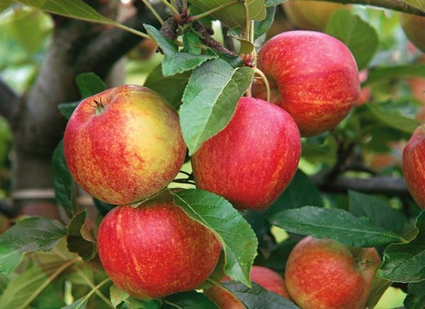 Яблоки – один из самых распространенных десертов