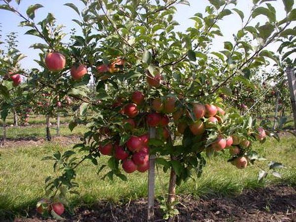 Хранить плоды Приземленное можно до 60 дней