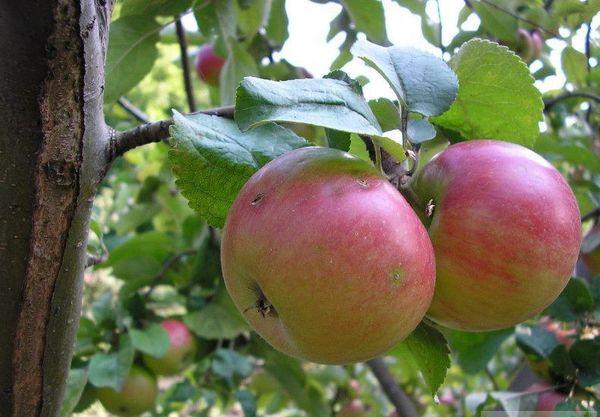 С одного дерева за сезон можно получить до 130 кг яблок