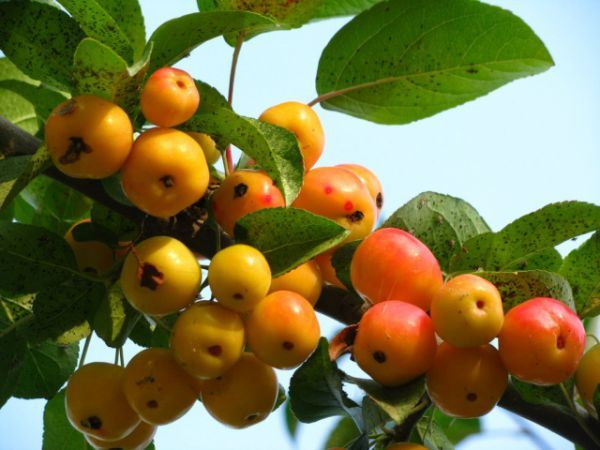 Яблоня Ранетка относится к мелкоплодным яблоням