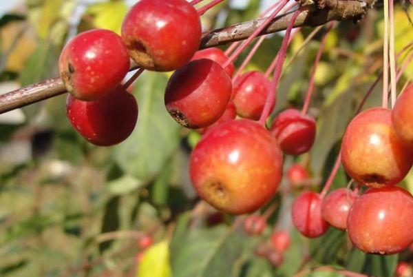 Плоды весят очень мало (до 15 грамм)