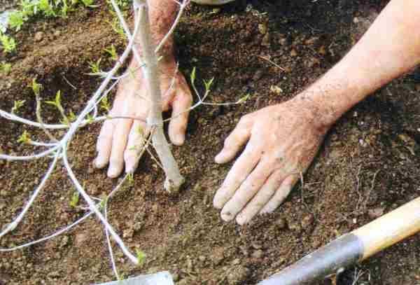 Посадку производят ранней весной или в осенний период