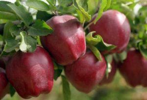 Популярный сорт яблони Ред Чиф