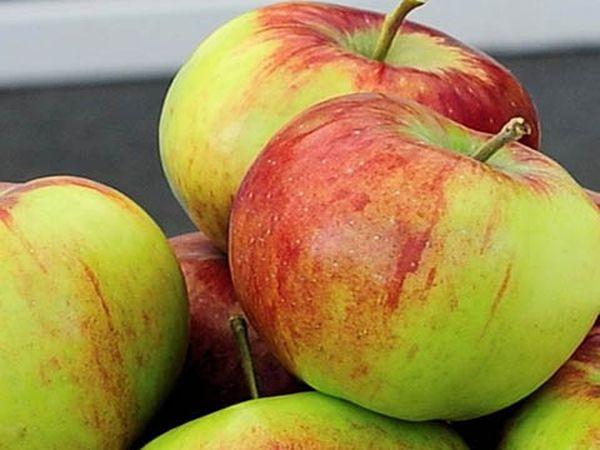 Яблоня Россошанское полосатое обладает хорошей морозоустойчивостью