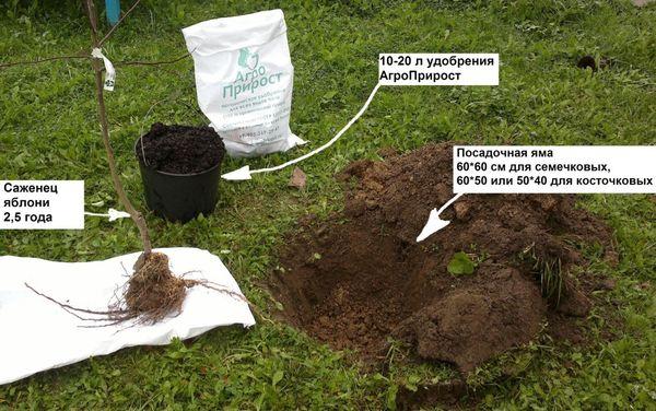 Правила посадки яблони в саду