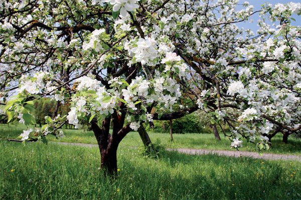 Яблоня любит простор вокруг себя в саду